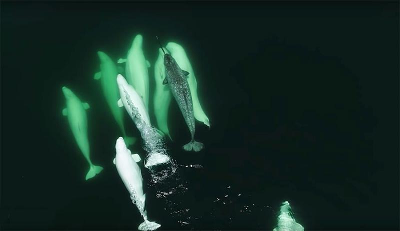 beluga and narwhal