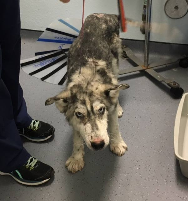 sick husky miracle saved from highway 2