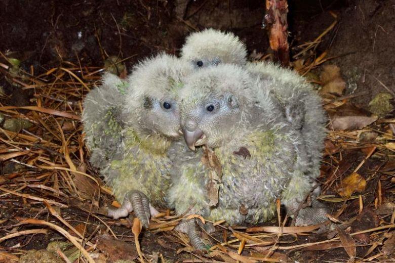 kakapo con 2