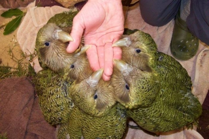 kakapo than thien voi nguoi
