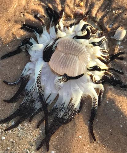 Sinh vật kỳ dị trôi dạt vào bờ biển nước Úc khiến nhiều người tin rằng nó không thuộc về Trái Đất