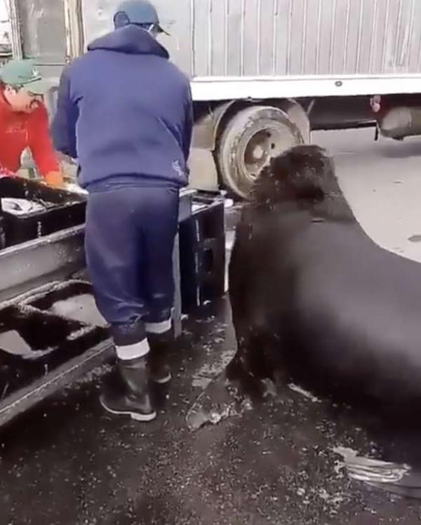 Sư tử biển to béo lảng vảng ở chợ cá để xin đồ ăn vặt