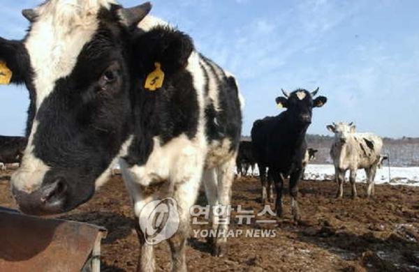 Đằng sau câu chuyện về những chiếc lỗ trên thân bò sữa tại các trang trại chăn nuôi