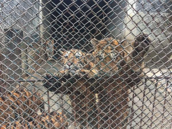 Hổ và sư tử ở Nam Phi được nuôi rồi giết để làm thuốc bán sang Trung Quốc