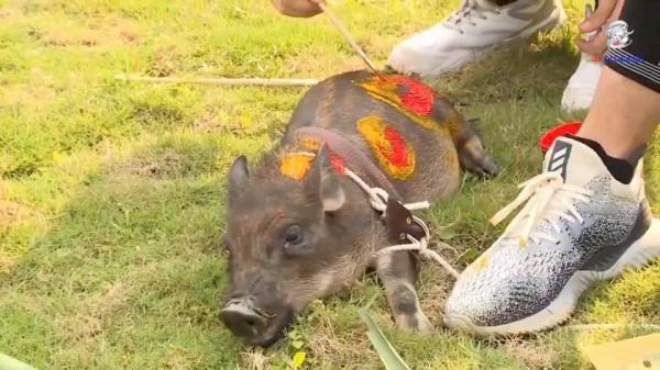 'Cuộc Đua Kỳ Thú' gây tranh cãi lớn khi trói, vẽ sơn lên động vật và còn phát sóng trên truyền hình