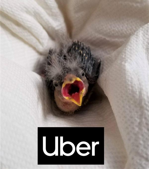 Anh trai nhờ UBER chở chim non đến trạm cứu hộ động vật vì mình say xỉn không thể lái xe