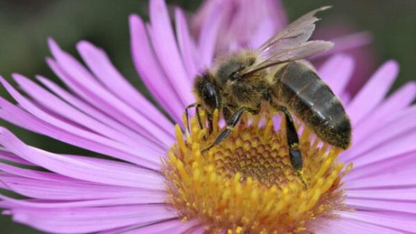 male honeybees