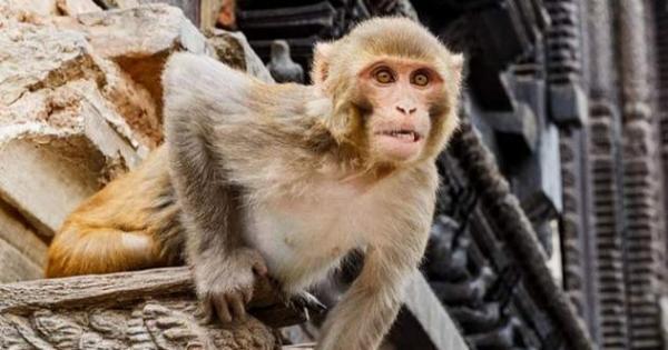1 rhesus monkey