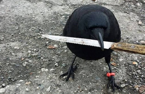 3 canuck the crow