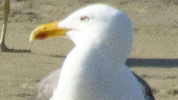 seagullswns1