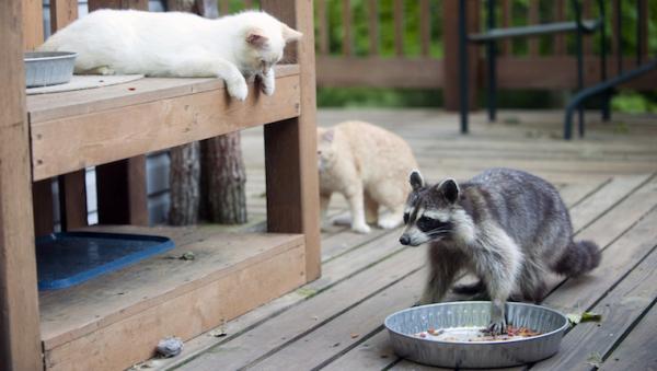 cat raccoon