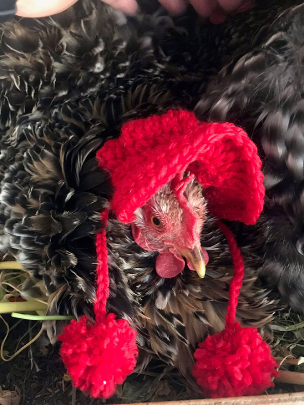 chicken fashion sweaters17a