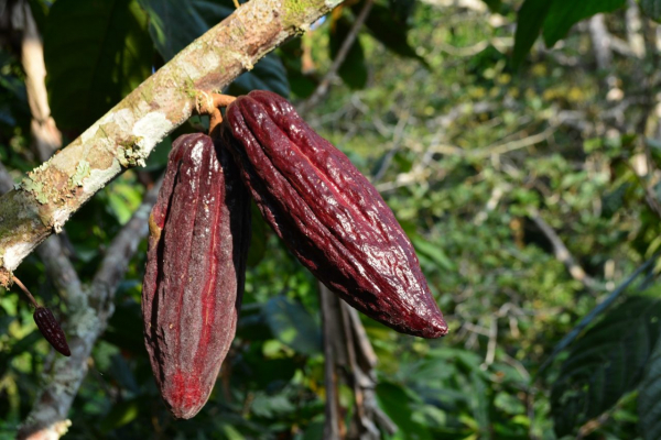 cocoa 4006117 1920 1280x853