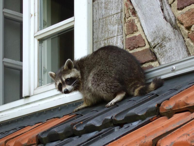 raccoon control 1024x768