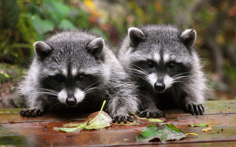 racoons 1080x675