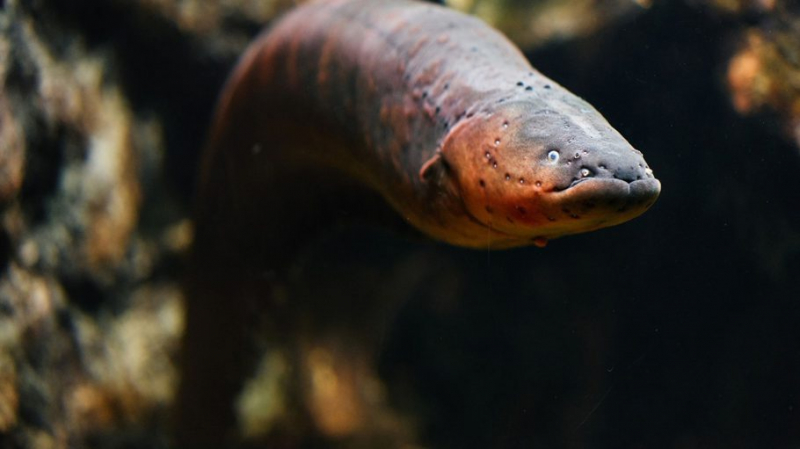 researchers have found the worlds most powerful electric eel b3y4 910